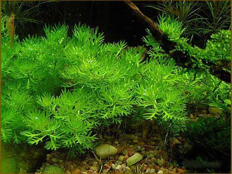 Aquascape Wood Hottonia Inflata Welkom Bij Aquarium Planten Com
