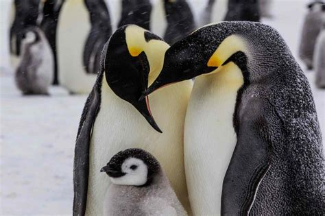 8 Facts On Penguins by World Penguin Day 10 Facts About Emperor Penguins