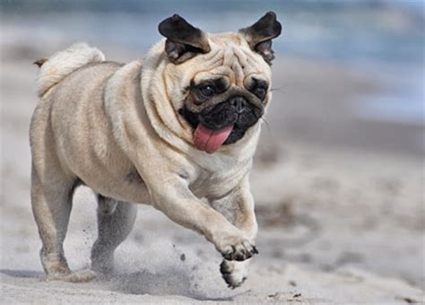 all about pugs information pug insurance breed facts health information