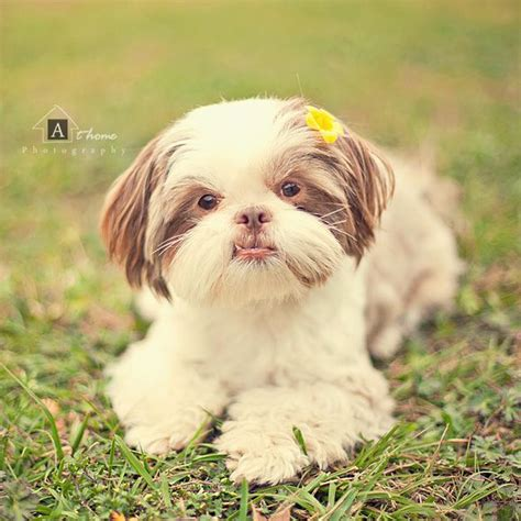 liver nose shih tzu pin by ter e lindsay on s garden rescue san diego pinter