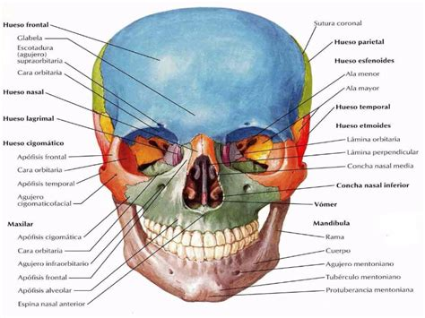 de la cabeza a puzzle de huesos de la cabeza rompecabezas de