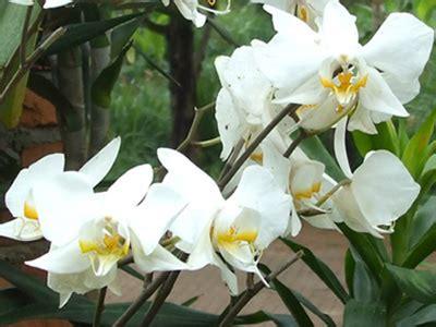 Bibit Anggrek Bulan Putih tanaman bunga anggrek tanaman bunga sepatu