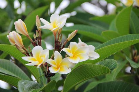 bagian bunga bunga tidak lengkap  bunga kamboja