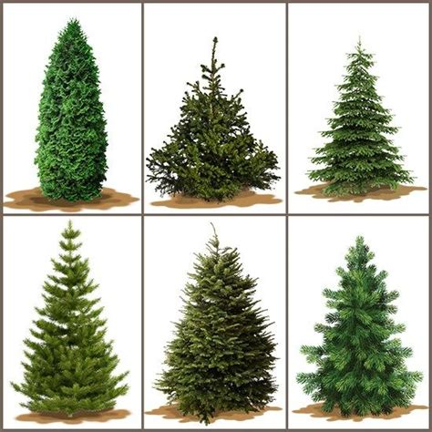 christmas trees different types of and 7 year olds on
