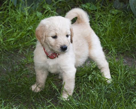 mini goldendoodles western ny goldendoodle puppies in western new york photo