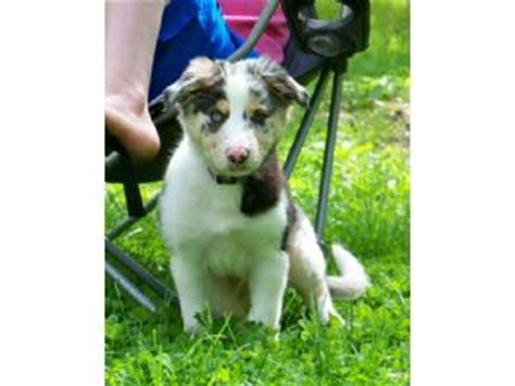 border collie puppies for sale in missouri border collie puppies in missouri