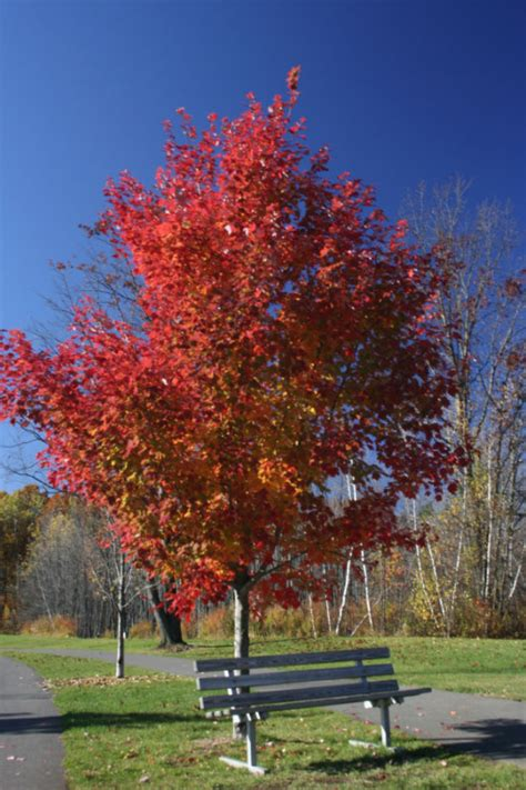 28 best what type of maple tree do i types of maple