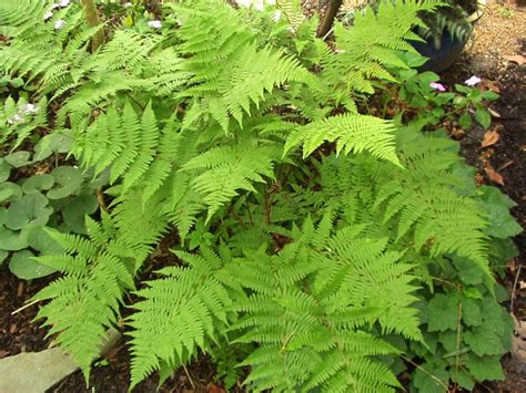 ferns plants pictures wallpapers