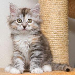 starskys sibirisk katt kattuppfoedning  vallentuna stockholm