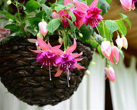 grow fuchsias thompson morgan
