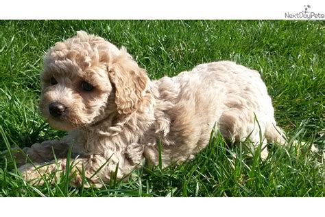 goldendoodle puppy prices mini goldendoodle goldendoodle puppy for sale near