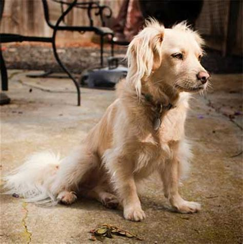golden retriever mix with cocker spaniel is there really such a thing as a miniature golden retriever