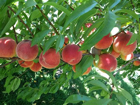 types of fruit trees with pictures types of fruit trees cooperative extension tree fruits