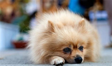 pomeranian hair loss causes how can i stop my losing its hair can my vet treat my pomeranian s alopecia x