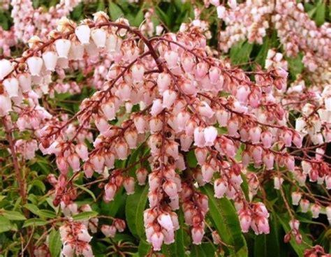 pieris japonica valley japanese pieris pieris japonica valley from