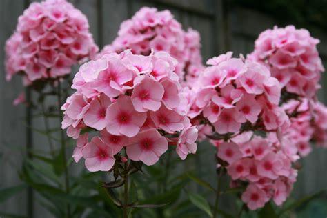 file phlox paniculata flower jpg wikipedia