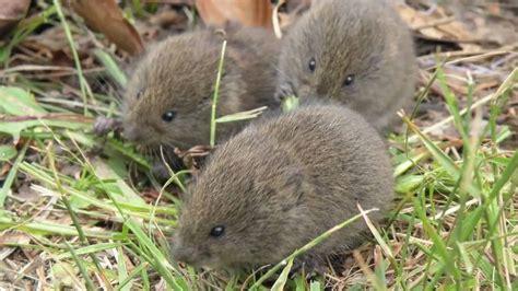 Garden Mouse by Mole And Vole Prevention Fairview Garden Center