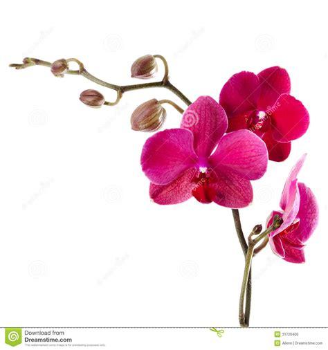 Läuse Auf Orchideen 4233 by Orchid 233 E Pourpre Sur Un Fond Blanc Image Stock