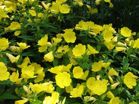 3 live evening primrose plants rooted plants beautiful