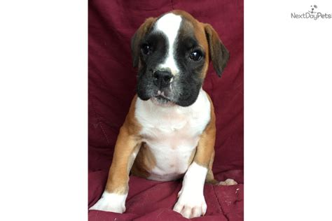 boxer puppies for sale in md boxer puppy boxer puppy for sale in baltimore md 4219790457 dogs