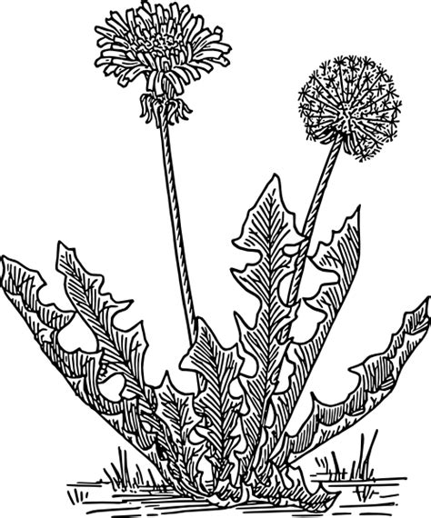 dandelion coloring pages and printable