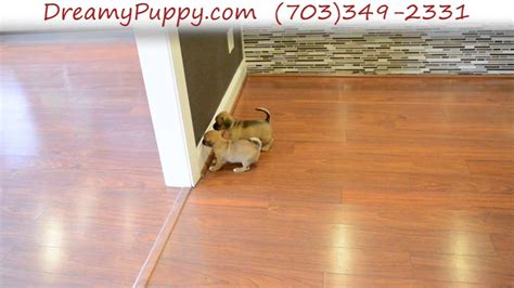 dreamy puppies pocket puggle puppies www imgkid the image kid has it