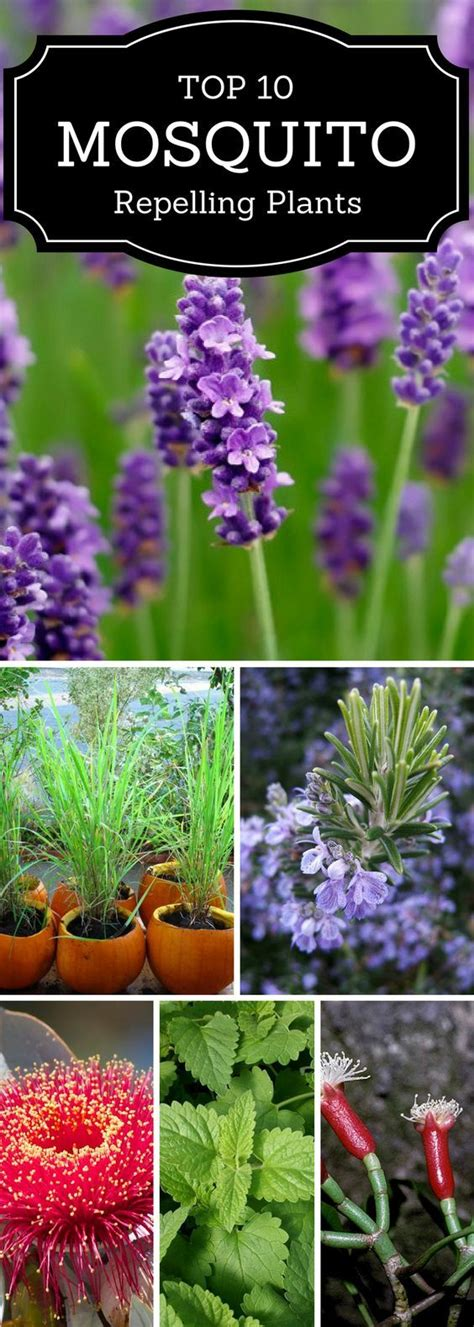 flowers that keep mosquitoes away 25 best ideas about mosquito plants on pinterest plants