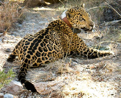 what state are the jaguars from jaguars in the united states part 2 the jaguar