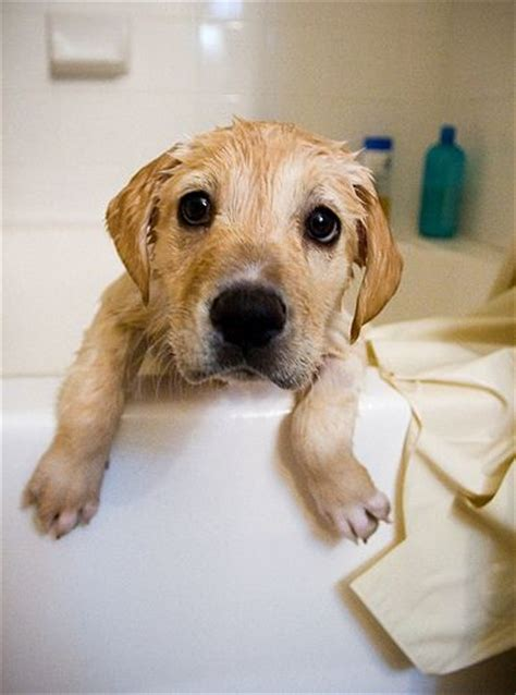 golden retriever whiskers 1000 ideas about bath tub on wash