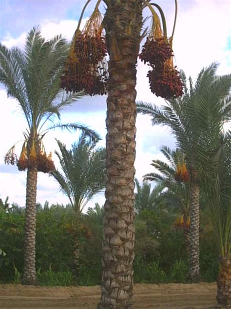 doodle do royal palm palm tree