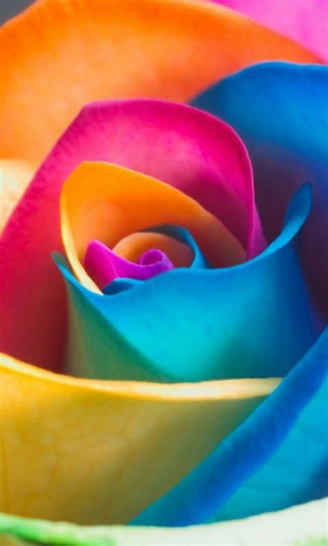 colorful rose wallpaper download mobile wallpapers hd desktop backgrounds page 10