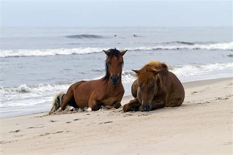 pony island picture7 wild horses of assateague island photograph by edward kreis