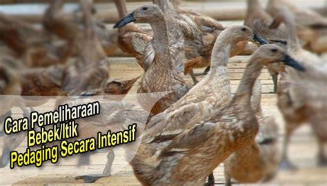 Info Bibit Bebek cara pemeliharaan bebek itik pedaging secara intensif