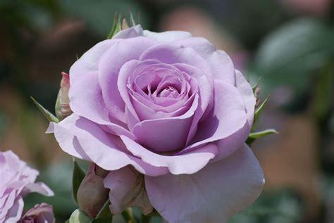 imagenes de rosas lilas im 225 genes de rosas con movimiento para mi novia
