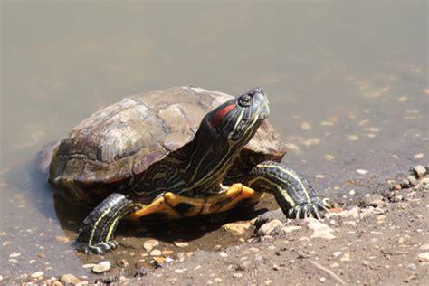 alimentazione trachemys tartaruga americana trachemys scripta astolinto 176