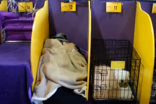 pered puppy westminster kennel club show 2015 westminster kennel club show 2015 pered pooches