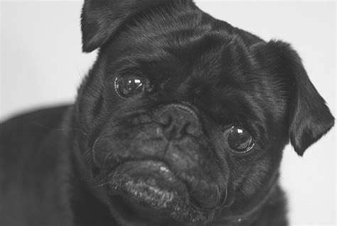 how to your pug photo tips archives the pug diary