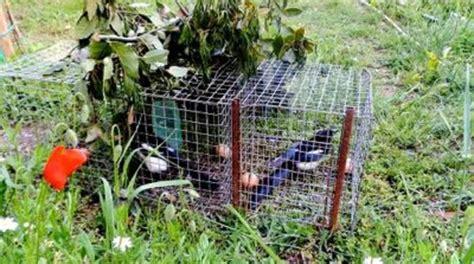 gabbie trappola per uccelli gabbie per catturare uccelli nella diaccia botrona scatta