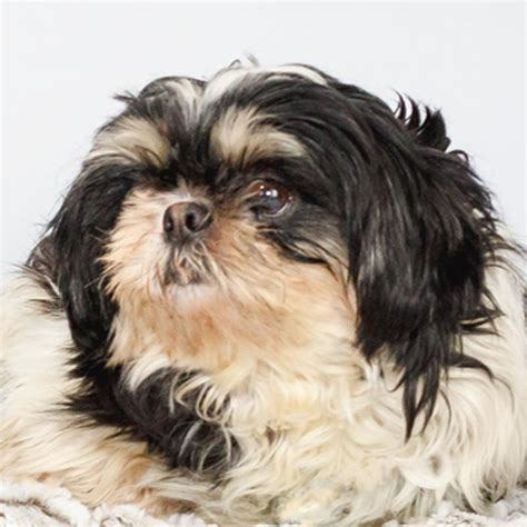 shih tzu st louis view ad shih tzu for adoption minnesota st louis park