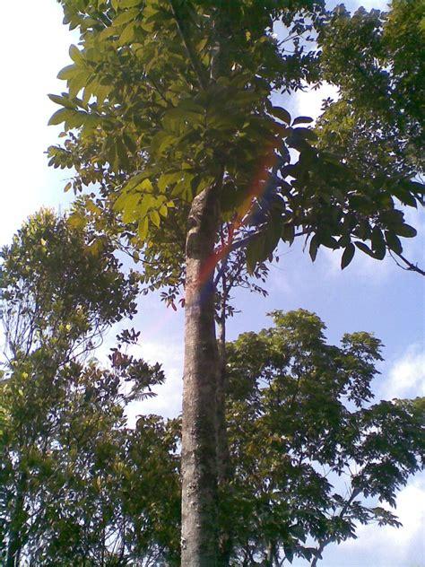 Teh Daun Frambozen khasiat tumbuhan herbal khasiat mahoni