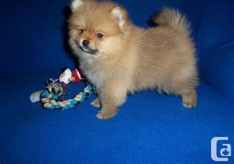 pomeranian puppies ontario stunning miniature brown pomeranian puppies for sale in brockville ontario