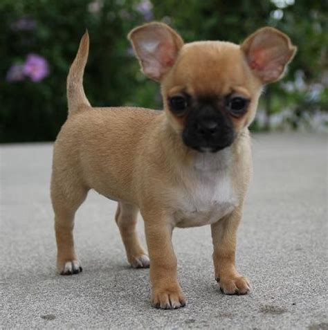 pugs and chihuahuas pug chihuahua chug pug mixed breeds chugs pug and chihuahuas