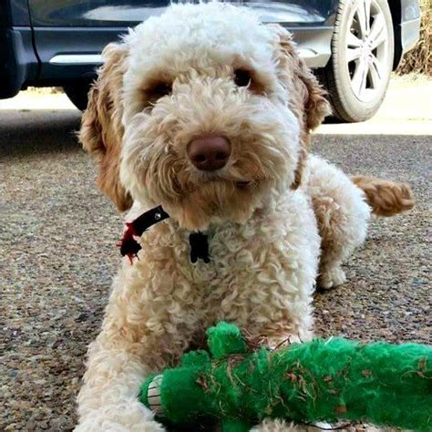 mini labradoodles wiki 1000 images about miniature labradoodles on