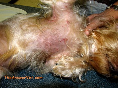 dogs with skin skin allergies with scabs insomnia