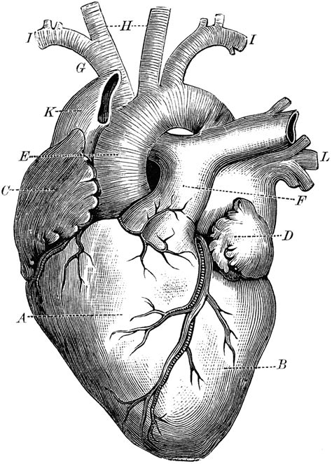 tattoos on the heart pdf anatomical and tree clipart etc