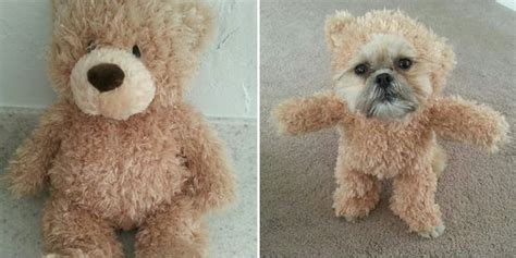 ewok shih tzu un chien shih tzu avec un costume d ours en peluche ewok