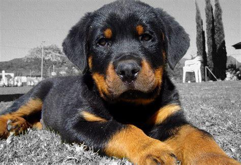 perros rottweiler perros de raza rottweiler