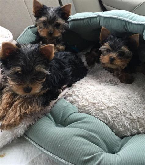 yorkies for sale in ottawa your yorkie puppies for sale