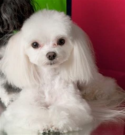maltese faces grooming 17 best images about maltese hair styles on pinterest