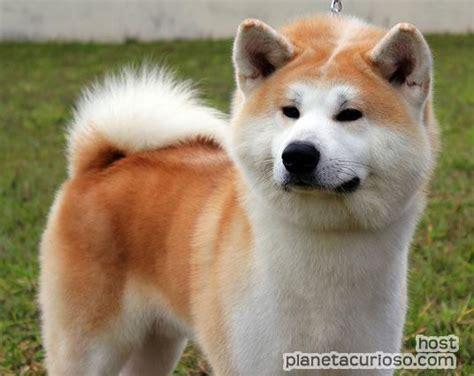 imagenes de animales japoneses los 10 perros m 225 s agresivos planeta curioso